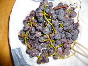 WELCHES CONCORD GRAPES ....FRESH OFF MY VINE...