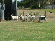baby goats and all sized goats for sale Cobbitty Camden Area Preview