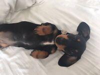 KD Reg. Miniature Dachshund Girl Puppy for Sale. Excellent Temperament!