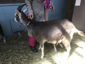 Alpine Milking Goat