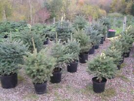 Potted Christmas Trees - Blue Spruce 3 to 4 feet tall.