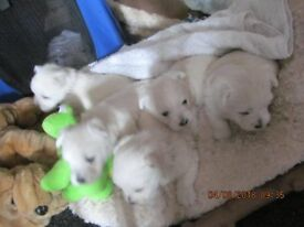 FOR SALE WESTIE PUPPYS 2 BOYS & 3 GIRLS READY 4TH SEPTEMBER 2018