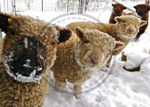 OLDE ENGLISH SOUTHDOWN BABYDOLL LAMBS FOR SALE