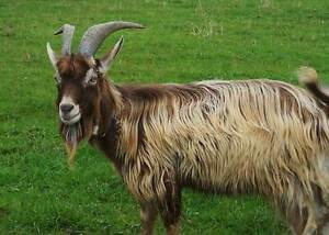 WANTED Toggenburg Buck for Breeding