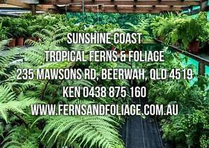tree ferns  maidenhair and assorted tropical ferns and plants Beerwah Caloundra Area Preview