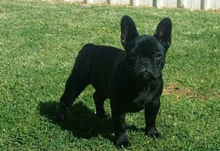 Purebred french bulldog puppy female for sale Holden Hill Tea Tree Gully Area Preview