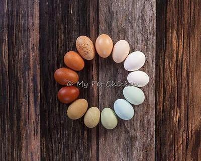 Fertile Hatching Eggs 1 Dozen - Intense Egg Color