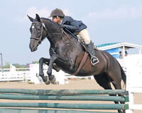 PRICE REDUCED: Talented Hunter Jumper For Sale