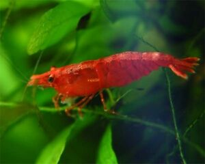 Red cherry aquarium shrimp