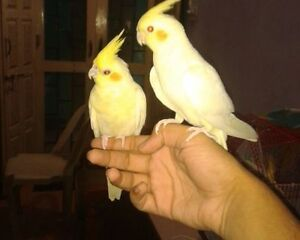 ❤❤ Extremely Friendly COCKATIEL Babies With CAGE ❤❤ Kitchener / Waterloo Kitchener Area image 4