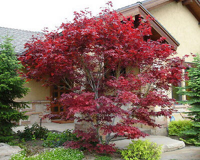 Japanese Red Maple Tree - 1 foot tall in trade gallon pots - ready to plant ()