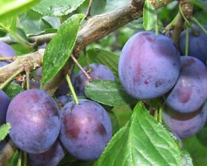 Prugna pianta prugne pianta di prugna a radice nuda ebay for Piante da frutto a radice scossa