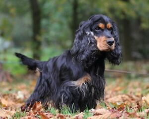 Wanted English Cocker Spaniel