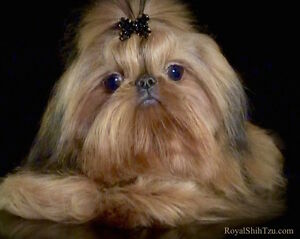 Shih Tzu Imperial (ShihTzu Miniature)  Parents C.K.C./ C.C.C.
