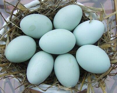 Cream legbar eggs (credit to Jill Rees (jillscreamlegbars) )