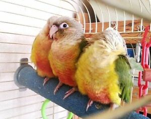 DEAL !!!!  (♥♥,) Conure Babies with Cage and Food (♥♥,)