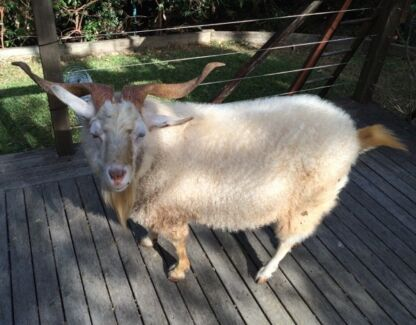 Friendly male goat for sale Turramurra Ku-ring-gai Area Preview