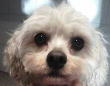 Toy Poodle or a Small Low Shedding Breed - Adult dog wanted West Perth Perth City Preview