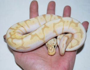 Big List of Designer Morph Ball Pythons