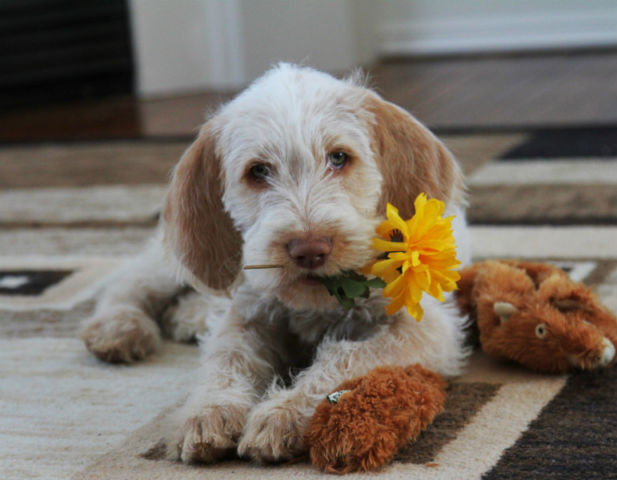 Guide Dog Rehoming >> Wire Haired Italian Spinone Puppies - Registered | Dogs & Puppies for Rehoming | Oshawa / Durham ...