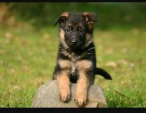 chiot berger allemand pure race
