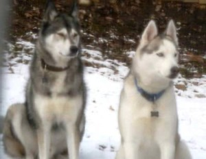 KLAWS:LOST male huskies by Fowler's Corner, sighted Fraserville
