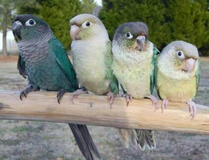Wanted: Wanted for this season! Green cheek conure in Launceston area