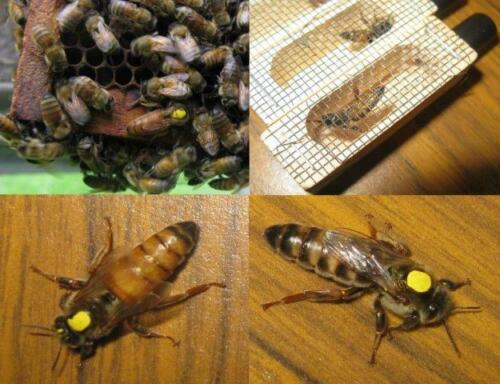 Shipping Sept. 27 - 2021 Live Mated Marked and Laying Honey bee Queen -Northern