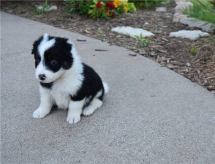 Wanted: Wanted female border collie