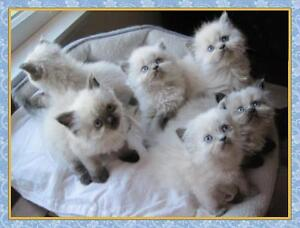 Looking for upcoming litters of HIMALAYAN, PERSIAN or RAGDOLL