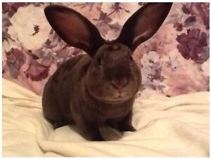 Pair of Standard Rex Rabbits for sale (not mini's)
