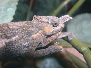 Male Taveta two horned chameleon