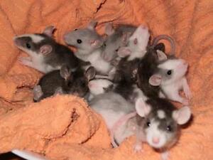 Rats, souris à vendre pas cher!