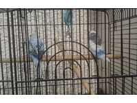 Budgies for sale with cage