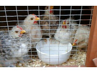 bantam chicken for sale