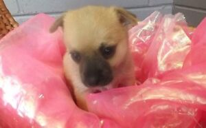 2 Stunning Pomeranian x Chihuahua puppies for sale Holland Park West Brisbane South West Preview