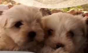 Purebred Maltese Pups Thorneside Redland Area Preview