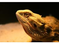 Female bearded dragon - good home urgently wanted!