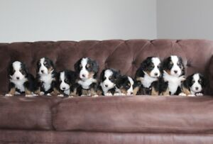Bernese Mountain Dogs Puppies For Sale