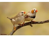 Pair of zebra finches for sale with nest box