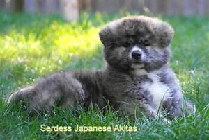 Japanese Akita Puppy Females Ready for new Homes Red Brindles