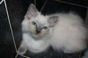 BEAUTIFUL RAGDOLL kittens Slightly older reducded