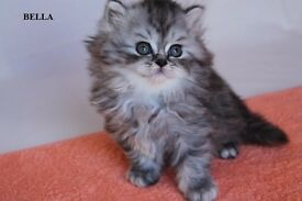 Show Class Kittens With Excellent Pedigree