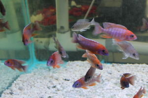 we have the New shipment yesterday! Lots of Shows males.