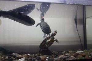 2 tortues a tête rouges et une aquarium neuve 20g.