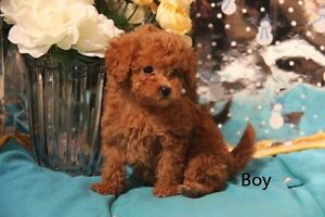 Purebred Teddy Bear Poodle pups for sale