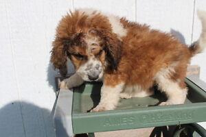 Saint Berdoodle puppies ready for adoption! Kitchener / Waterloo Kitchener Area image 3