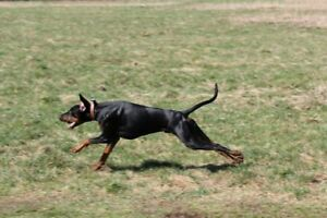 Wanted - Natural Tail, Cropped Ear Doberman