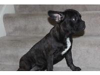 Gorgeous French Bulldog !!!