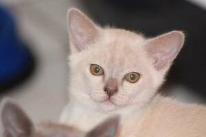 SOLD Burmese Kittens WAITLIST FOR OCTOBER BORN KITTENS NOW AVAIL Rouse Hill The Hills District Preview